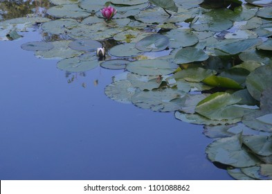 Lotus pond, Claude Monet's garden at Giverny.