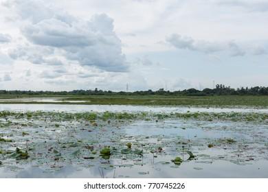 Lotus Pond in Thailand