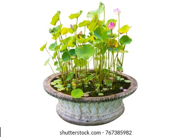 lotus in the pot in the garden in white background isolated