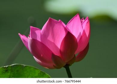 Lotus at Rama 9 Park, BKK, Thailand