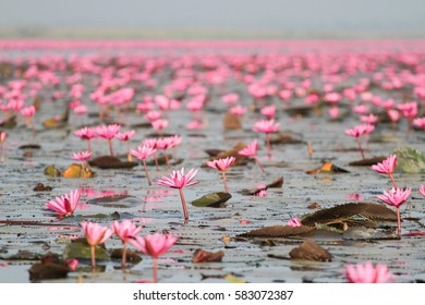 Lotus Red Sea city of Udon Thani, Thailand.