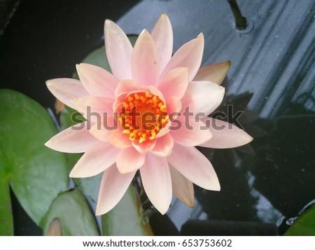 Lotus Sacred Flower Hindus Buddhists Symbolically Stock Photo Edit