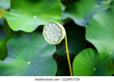 Lotus seed pods on green leaves background