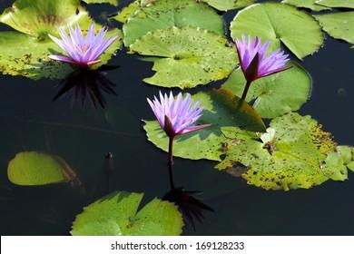 Lotus in Thailand