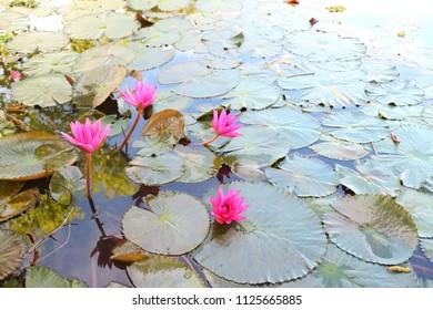 Lotus Soil Flower Images Stock Photos Vectors Shutterstock