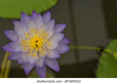 Lotus with violet And yellow pollen on the background blurred.