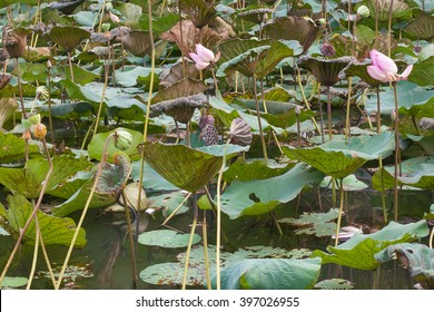 Lotus in water