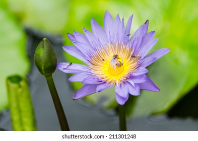 Lotus or Water lily flower in the pond and in the nature