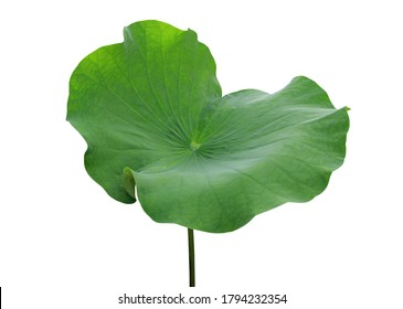 Lotus, Water lily, Nelumbo, Close up beautiful lotus leaves on the stalk isolated on white background.
