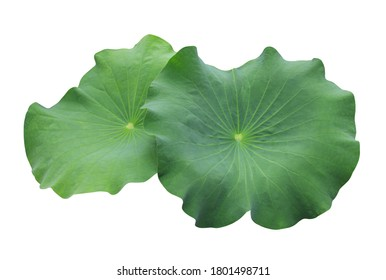 Lotus, Water lily, Nelumbo, Close up beautiful single lotus leaf on isolated on white background.