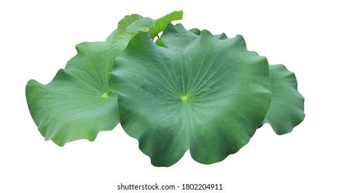 Lotus, Water lily, Nelumbo, Close up many beautiful lotus leaves bush isolated on white background