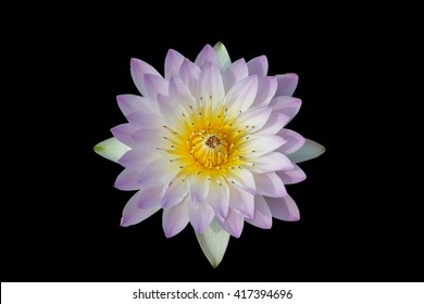 Lotus, water lily , waterlily isolated on black background