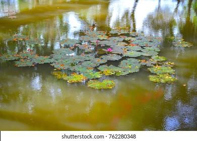 Lotus water reflect
