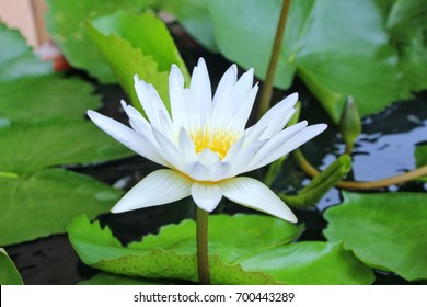 Lotus white lotus meritor rigg is annual plants.Believed to be the flower of goodness.