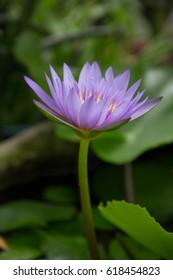lotus,flower,violet,beautiful,nature