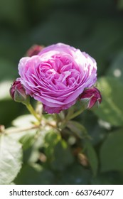 Louise Odier rose