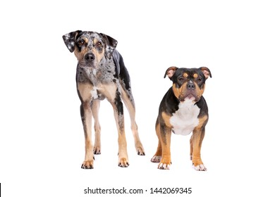 Louisiana Catahoula Leopard dog and an American bully in front of a white background