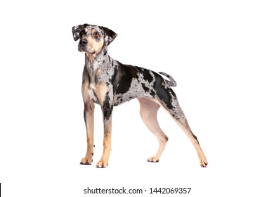 Louisiana Catahoula Leopard dog in front of a white background