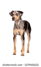 Louisiana Catahoula Leopard dog standing in front of a white background