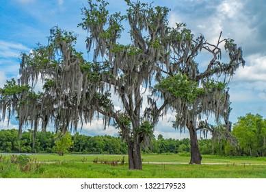 Louisiana cypres tree