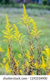 Louisiana goldenrod, Solidago ludoviciana, grows wild in western Louisiana and east Texas.
