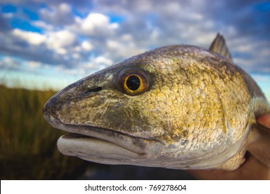 Louisiana Redfish Close up