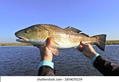 Louisiana Redfish with marshland in the Background