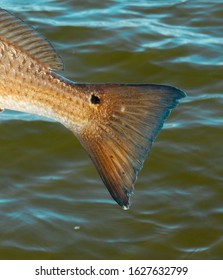 Louisiana Redfish Tail With A Small Black Spot