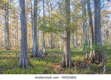 Louisiana Swamp in the Fall