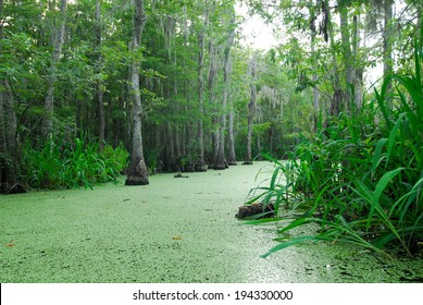 Louisiana swamp scene.