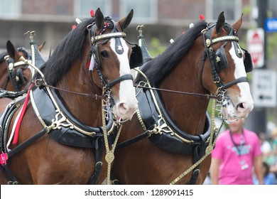 Louisville, Kentucky, USA - May 03, 2018: The Pegasus Parade, Horses pulling a wagon, driven by a man, with a dalmata dog riding on top of the wagon