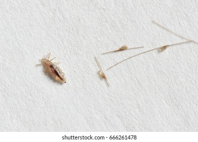 Louse and nits cocoons on white paper background