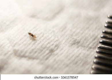 Louse on a white cotton pad near the crest