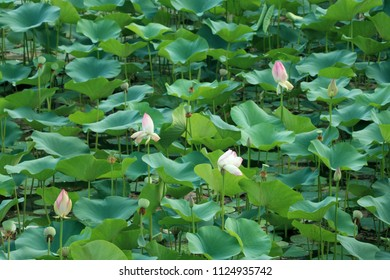 louts flower in pond