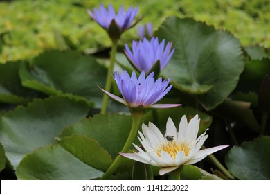 Louts lying on pond with lilies around it