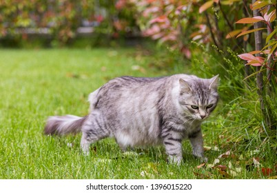 Lovable fluffy cat of livestock, siberian breed. Hypoallergenic animal, silver color, looking in a garden