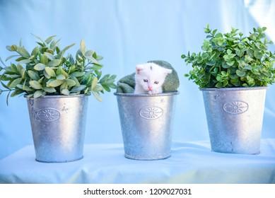 lovable and fluffy white kitten inside the vase among green plants