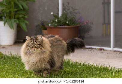 Lovable long haired cat outdoor in a garden. Beautiful siberian breed of cat, brown tabby pet of livestock