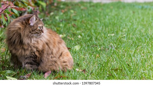 Lovable long haired cat of siberian breed outdoor on the grass green, hypoallergenic pet of livestock