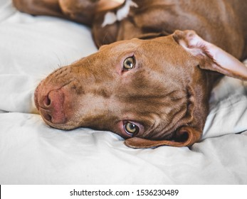 Lovable puppy of chocolate color lying on a white plaid. Close-up, top view. Studio photo. Concept of care, education, obedience training and raising of pets