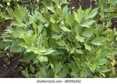 lovage in the garden, green leaves, Levisticum officinale