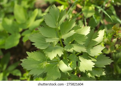 lovage leaves Levisticum officinale