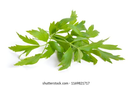 Lovage or Levisticum officinale. Isolated on white backgrounbd.
