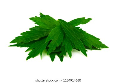 Lovage Medicinal and Culinary Herb Plant. Levisticum Officinale Isolated on White Background.