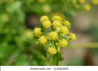 Lovage yellow flower close up - Latin name - Levisticum officinale
