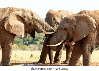 Love - The African bush elephant is the larger of the two species of African elephant. Both it and the African forest elephant have in the past been classified as a single species.