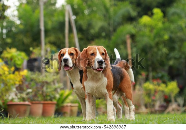 Love between dogs, Friendship between two beagle dogs