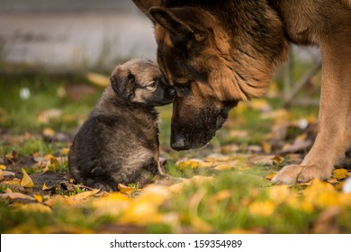 love between puppy and german shepherd