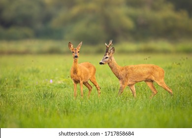 Love between roe deer, capreolus capreolus, male and female in rutting season. Two wild mammals on a green nature with grass looking and walking. Animal wildlife in summer wilderness.