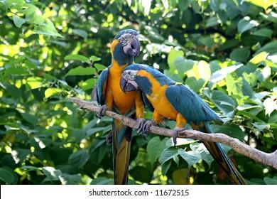 Love Birds - Blue & Gold Macaws